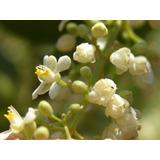 Cipó Uva 30 Sementes / Apicultura / Abelhas / Néctar