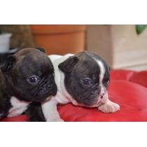 Bulldog Frances Cachorros Con Fca Y Microchip