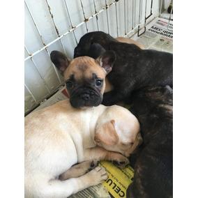 Filhotes Bulldog Frances Femea E Machos Fulvo / Tigrado