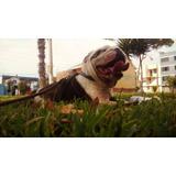 Bulldog Bull Dog Ingles Monta Padrillo