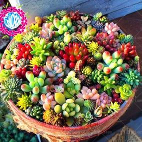 50 Sementes Suculentas E Mini Cactus Cactos Sortidas