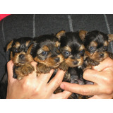 Lindos Cachorritos Yorkshire Terrier Miniatura