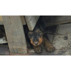 Bonitos Cachorros Aridale Terrier Pelo De Alambre