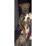 Cachorra Mestiza En Adopcion Pitbull Hembra