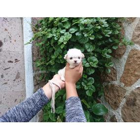 Cachorros Caniche Minitoy..chinitos Como Borreguitos.