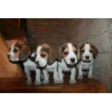 Hermosos Cachorros Beagle ( Talca )