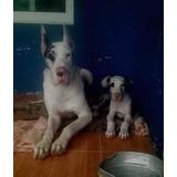 Hermosos Cachorros Gran Danés, Madre Con Pedigree.
