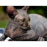 Gatitos Esfinges ( Sphynx, Gato Sin Pelo)