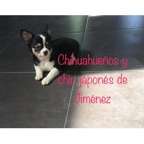 Macho Chihuahueño Pelo Largo Cabeza De Manzana