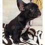 Bulldog Frances Negros Espectaculares!!!!