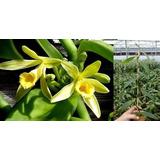 2 Mudas Orquidea Baunilha 30cm Para Produção De Favas