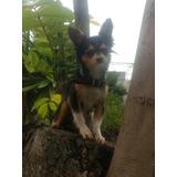 Semental Chihuahua