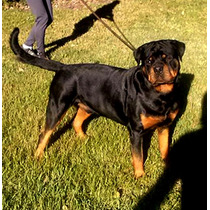 Aquiles Der Walküren. Macho Rottweiler Fca. Servicio De Stud