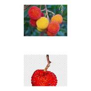 Sementes Árvore De Morango Medronho Arbutus Unedo Fruta