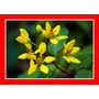 Trialis Resedá Amarelo Galphimia Brasiliensis Flor Sementes