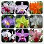 50 Sementes De Orquídeas Cattleya Hybrida Várias Cores