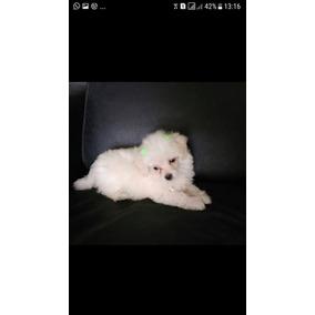 Vendo Filhotes De Poodle Micro Toy ...macho 600 ..femea 700