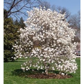 Magnolia planta en mercado libre m xico - Semilla de magnolia ...