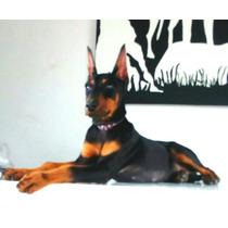 Auténtico Cachorro Doberman Con Corte De Orejas