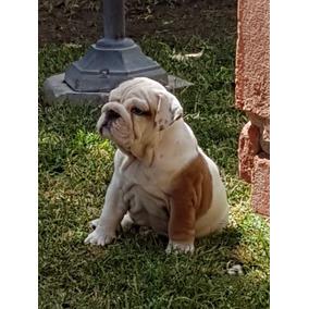 Bulldog Ingles. Hembra