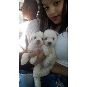 Filhotes De Poodle Micro Garantia Entrego