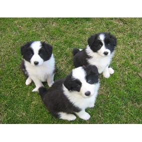 Cachorros Border Collie !! Aceptamos Tarjeta