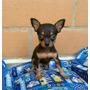 Cachorros Pinscher Miniatura Bolsillero