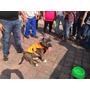Cachorros Amercan Bully Hijos De Diesel