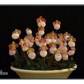 Orquídea Paphiopedilum Sapatinho Flor Exótica 10 Sementes