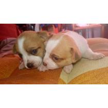 Se Venden Dos Hermosos Cachorros Chihuahuas A Un Buen Precio