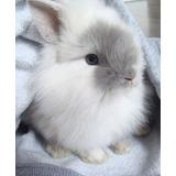 Conejos Enanos Minilop Y Cabeza De Leon