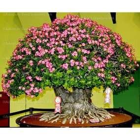 40 Sementes De Rosa Do Deserto(adenium Obesum )mix De Cores