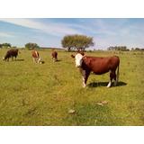Vacas Y Vaquillonas