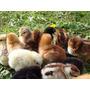 Pollitos Criollos (pollos De Campo) De 5 Días De Nacidos