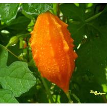 Melão São Caetano Melãozinho 10 Sementes