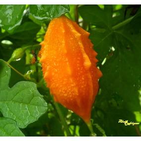 Melão São Caetano Melãozinho 10 Sementes Plantar