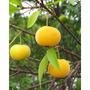 10 Mudas Grandes De Fruta Uvaia - Arvore Nativa Frutifera