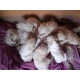 Cachorros Poodle Minitoy Hembras Y Machos