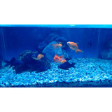 Peces De Agua Fria. Telescopico. Goldfish. Calicos 5 Cm!!!