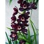 100 Sementes Orquídea Cymbidium Preta P/mudas Bonsai Rara