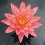 Nenúfar Rosa-jaspeado Nymphaea Sp. Wanvisa Lirio Acuático