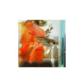 Guppy Red Lace Snakeskin - Frete Grátis