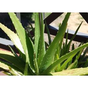 Planta De Sabila