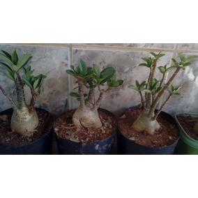 Rosa Do Deserto Arábicum- Adenium Arabicum - Pre Bonsai