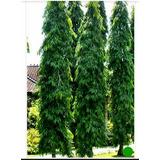 Sementes Da Árvore Mastro, Choupala (polyalthia) Unitário