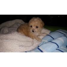 French Poodle Tacita De Té