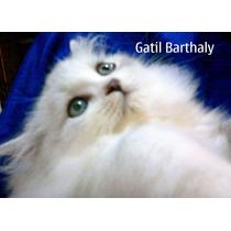 Filhote Gato Olhos Azuis Branca / Marfim De Raça E Pedigree