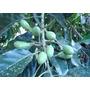 2 Mudas Azeitona Verde Oliva Tam. 60cm. *obs* Temos Frutas