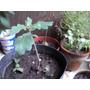 Plantas De Roble