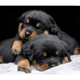 Maravilhosos Filhotes De Rottweiler Machos Disponíveis